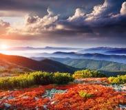 Arbustos de mirtilo vermelhos Imagem de Stock Royalty Free