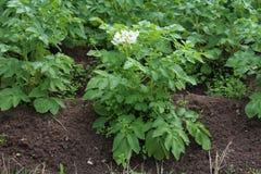 Arbustos de patatas florecientes en el jardín Fotos de archivo libres de regalías