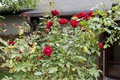 Arbustos de rosas vermelhas perto da casa no jardim imagens de stock