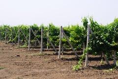Arbustos de um vinhedo dos jovens Fotografia de Stock Royalty Free