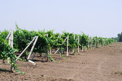 Arbustos de um vinhedo dos jovens Fotos de Stock Royalty Free
