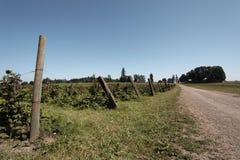 Arbustos de zarzamora a lo largo de un carril de la granja Imágenes de archivo libres de regalías