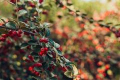 Arbustos decorativos da bérberis com folhas impetuosas e as bagas vermelhas fotografia de stock