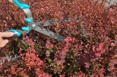 Arbustos del ajuste por las podadoras del seto Foto de archivo libre de regalías