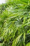 Arbustos del excelsa del Rhapis en el parque en primavera Fotografía de archivo
