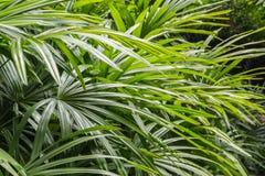 Arbustos del excelsa del Rhapis en el parque en primavera Foto de archivo