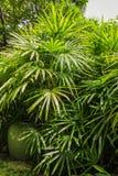 Arbustos del excelsa del Rhapis en el parque en primavera Imagenes de archivo