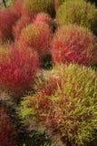 Arbustos del Kochia en el parque de playa de Hitachi Fotos de archivo libres de regalías