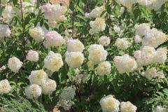 Arbustos del primer blanco de las hortensias Foto de archivo libre de regalías