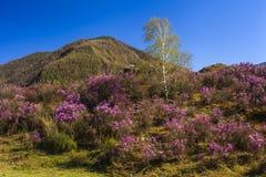 Arbustos del rododendro en el fondo de la montaña hermosa Imagenes de archivo