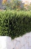 Arbustos del romero Imagenes de archivo