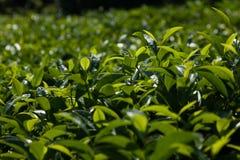 Arbustos del té Imagen de archivo libre de regalías