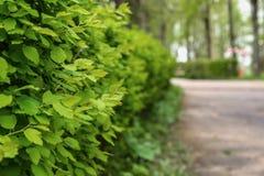 Arbustos del té del parque del callejón Foto de archivo libre de regalías