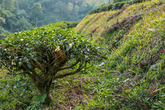 Arbustos del té en salida del sol Imagen de archivo