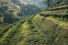 Arbustos del té en salida del sol Fotos de archivo