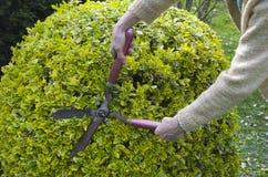 Arbustos do aparamento com tesouras do jardim imagem de stock royalty free