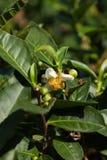 Arbustos do chá Imagem de Stock
