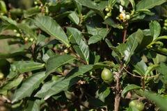 Arbustos do chá Fotografia de Stock Royalty Free
