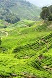 Arbustos do chá crescidos dentro do vale Fotos de Stock Royalty Free