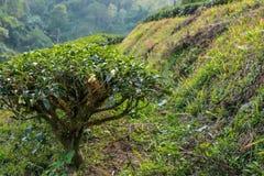 Arbustos do chá no nascer do sol Imagem de Stock