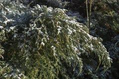 Arbustos do inverno Foto de Stock Royalty Free