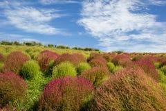 Arbustos do Kochia no parque de beira-mar de Hitachi Fotografia de Stock