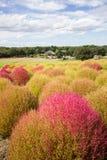 Arbustos do Kochia no parque de beira-mar de Hitachi Fotos de Stock