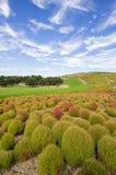 Arbustos do Kochia no parque de beira-mar de Hitachi Imagens de Stock