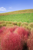 Arbustos do Kochia no parque de beira-mar de Hitachi Fotos de Stock Royalty Free