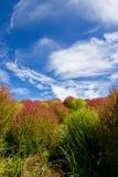 Arbustos do Kochia no parque de beira-mar de Hitachi, Japão Fotografia de Stock