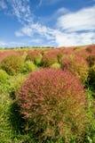 Arbustos do Kochia no parque de beira-mar de Hitachi, Japão Fotos de Stock Royalty Free