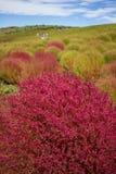 Arbustos do Kochia no parque de beira-mar de Hitachi, Japão Fotos de Stock