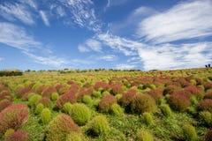Arbustos do Kochia no parque de beira-mar de Hitachi, Japão Imagens de Stock Royalty Free