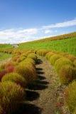 Arbustos do Kochia no parque de beira-mar de Hitachi, Japão Fotografia de Stock Royalty Free
