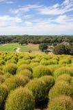 Arbustos do Kochia no parque de beira-mar de Hitachi, Japão Imagem de Stock