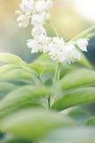 Arbustos do ornamental da flor branca Imagens de Stock Royalty Free