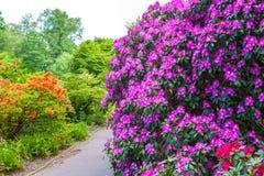 Arbustos do rododendro na paisagem do jardim Imagens de Stock