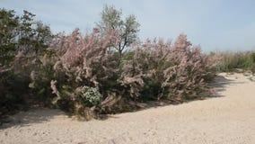 Arbustos do Tamarisk video estoque