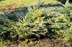 Arbustos do Thuja no parque Fotos de Stock
