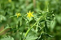 Arbustos do tomate Fotos de Stock