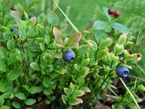 Arbustos dos mirtilos entre o sueco de Derain dos arvoredos Fotos de Stock Royalty Free