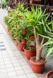 Arbustos e árvores em uns potenciômetros plásticos para flores imagens de stock royalty free