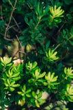 Arbustos e árvores Pittosporum em Montenegro Ajardinando o projeto o Fotos de Stock