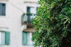Arbustos e árvores Pittosporum em Montenegro Ajardinando o projeto o Fotografia de Stock