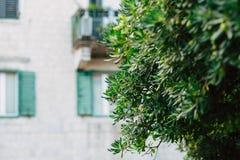 Arbustos e árvores Pittosporum em Montenegro Ajardinando o projeto o Imagens de Stock Royalty Free