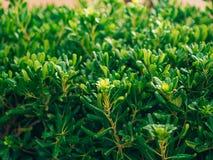 Arbustos e árvores Pittosporum em Montenegro Ajardinando o projeto o Imagem de Stock
