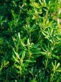 Arbustos e árvores Pittosporum em Montenegro Ajardinando o projeto o Fotografia de Stock Royalty Free
