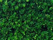 Arbustos e árvores Pittosporum em Montenegro Ajardinando o projeto o Fotos de Stock Royalty Free