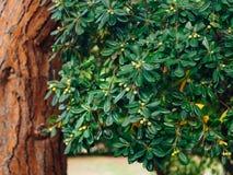 Arbustos e árvores Pittosporum em Montenegro Ajardinando o projeto o Foto de Stock