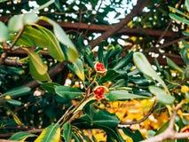Arbustos e árvores Pittosporum em Montenegro Ajardinando o projeto o Imagens de Stock